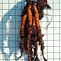 Commelina tuberosa tuber, Mary Sue Ittner