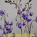 Conanthera bifolia, Bill Dijk