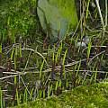 Convallaria majalis shoots, David Pilling