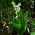 Convallaria majalis, Jay Yourch