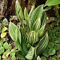 Variegated Convallaria majalis, Jay Yourch