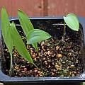 Convallaria majalis seed 3rd May 2015, David Pilling