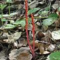 Corallorhiza maculata, Nhu Nguyen