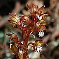 Corallorhiza maculata, Mary Sue Ittner