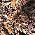 Corallorhiza wisteriana, Alani Davis