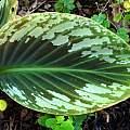 Cornukaempferia 'Jungle Gold', Jay Yourch