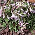 Corydalis angustifolia 'Talish Dawn', John Lonsdale