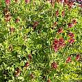 Corydalis buschii, John Lonsdale
