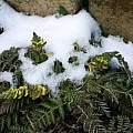 Corydalis cheilanthifolia snow tolerance, Martin Bohnet