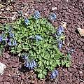 Corydalis fumariifolia, John Lonsdale