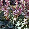 Corydalis ledebouriana, John Lonsdale