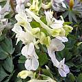 Corydalis malkensis, John Lonsdale [Shift+click to enlarge, Click to go to wiki entry]