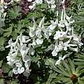 Corydalis malkensis, John Lonsdale
