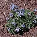 Corydalis ornata, John Lonsdale
