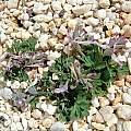 Corydalis paschei, John Lonsdale