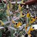 Corydalis schanginii subsp. ainae, Jane McGary [Shift+click to enlarge, Click to go to wiki entry]