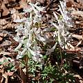 Corydalis solida, John Lonsdale [Shift+click to enlarge, Click to go to wiki entry]