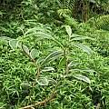 Costus amazonicus, Nhu Nguyen