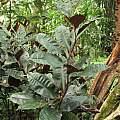 Costus varzearum, Nhu Nguyen