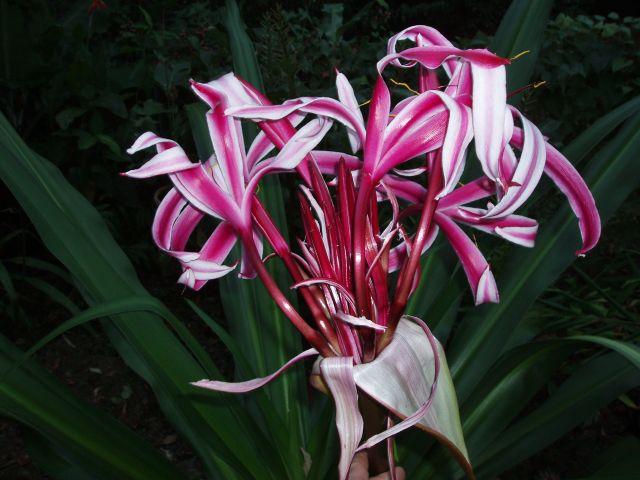 pacific bulb society crinum hybrids striped
