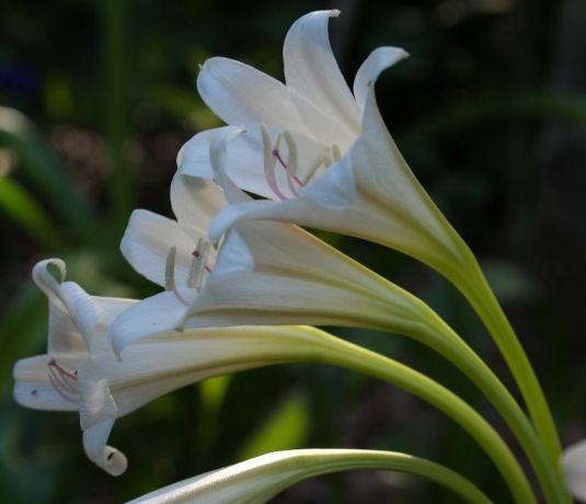 Flowers Of Crinum Zan Gypsy