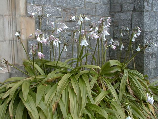 Pacific bulb society bulbs for shade co cy crinum moorei in flower at an old church in plymouth devon david fenwick mightylinksfo