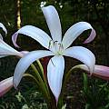 Closeup of Crinum 'Alamo Village' taken April 2007 by Jay Yourch