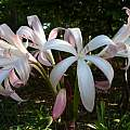 Crinum 'Alamo Village' Umbel, taken April 2007 by Jay Yourch
