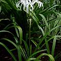 Crinum 'Bayou Traveler' blooming plant, Jay Yourch