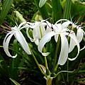 Crinum 'Bayou Traveler' umbel, Jay Yourch [Shift+click to enlarge, Click to go to wiki entry]