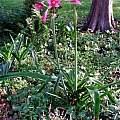 Crinum 'Eagle Rock' blooming plant, Alani Davis
