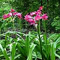 Clump of Crinum 'Ellen Bosanquet' in bloom. Photo taken July 2004 by Jay Yourch.