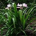 Crinum 'J.C. Harvey' blooming plant, Jay Yourch