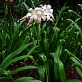 Crinum 'Jubilee' blooming plant, Jay Yourch