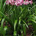 Crinum 'Kim Maureen', Jay Yourch