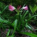 Crinum 'Lady Chameleon', taken July 2010 by Jay Yourch