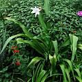 Crinum 'Maiden's Blush' blooming plant, Alani Davis