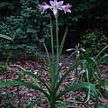 Crinum 'Pink Flamingo' blooming plant, Jay Yourch