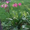 Crinum 'Rose Parade' blooming plant, Alani Davis