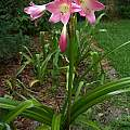Crinum 'Glory' blooming plant, Alani Davis