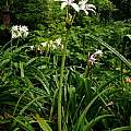 Crinum 'Seven Sisters' blooming plant, Jay Yourch