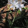 Crinum 'Seven Sisters'plant, Alani Davis