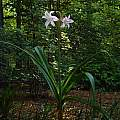 Crinum 'Spring Joy' blooming plant, photo taken May 2007, Jay Yourch.