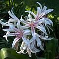 Crinum 'Stryped Spider Lily' umbel, Alani Davis