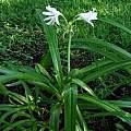 Crinum 'White Fluff' blooming plant, Alani Davis