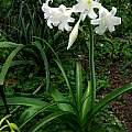 Crinum 'White Queen' blooming plant, Alani Davis