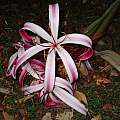 Closeup of Crinum × augustum, Alani Davis [Shift+click to enlarge, Click to go to wiki entry]