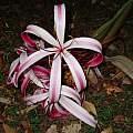 Closeup of Crinum × augustum, Alani Davis