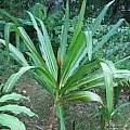 Crinum × augustum blooming plant, Alani Davis