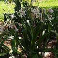 Crinum ×herbertii blooming plant, Alani Davis